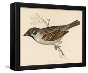 Tree Sparrow by Reverend Francis O. Morris