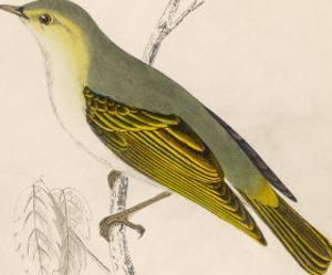 Wood Warbler by Reverend Francis O. Morris