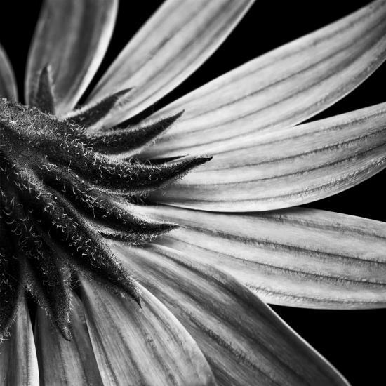 Reverse Of Flower Bw-Tom Quartermaine-Giclee Print
