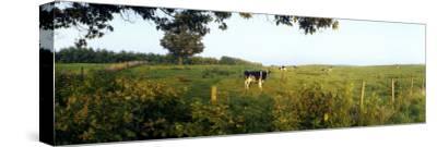 Cattle Graze in a Pasture in Rural North Carolina
