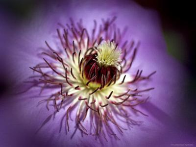 Close View of a Clematis Flower