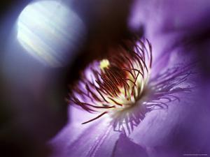 Close View of a Clematis Flower by Rex Stucky