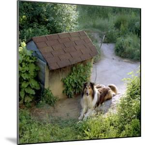 Collie Relaxes Next To Its Doghouse by Rex Stucky