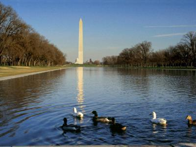 Ducks Swim in the Reflection of the Washington Monument