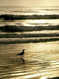 Gull Stands in the Atlantic Ocean's Surf at Sunset by Rex Stucky