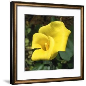 Calla Lily, Araceae Zantedeschia Elliottiana, Oregon by Reynolds Trish