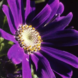 Cineraria, Senecio Hybridus, Oregon by Reynolds Trish