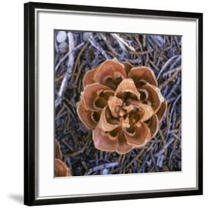 Singleleaf Pinyon Pine Cone, Pinus Monophylla, Nevada by Reynolds Trish