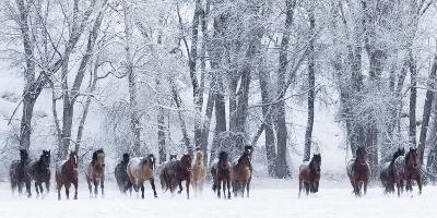 Rf- Quarter Horses Running In Snow At Ranch, Shell, Wyoming, USA, February-Carol Walker-Photographic Print