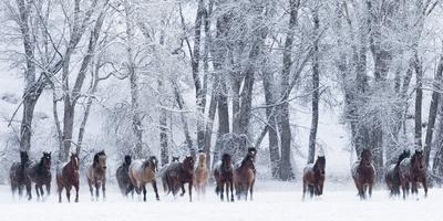 https://imgc.artprintimages.com/img/print/rf-quarter-horses-running-in-snow-at-ranch-shell-wyoming-usa-february_u-l-q13a5410.jpg?p=0