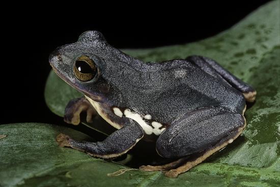 Rhacophorus Dennysi (Chinese Gliding Frog)-Paul Starosta-Photographic Print