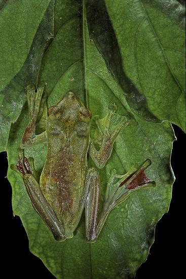 Rhacophorus Prominanus (Malayan Flying Frog)-Paul Starosta-Photographic Print