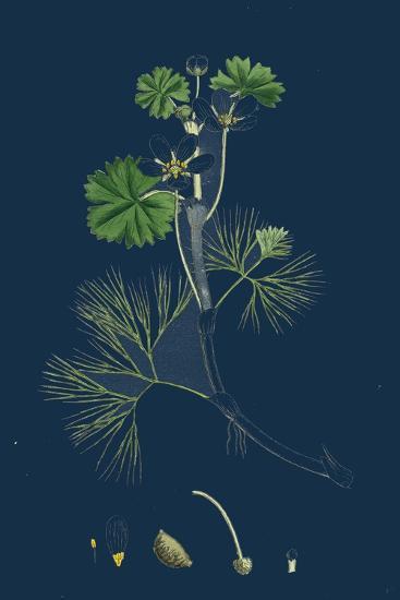 Rhamnus Catharticus; Purging Buckthorn--Giclee Print
