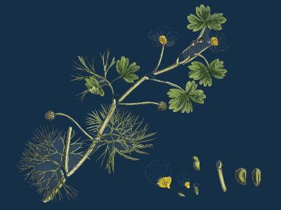 Rhamnus Frangula; Berry-Bearing Alder--Giclee Print