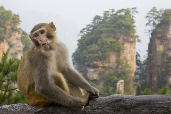 Rhesus Macaque, Hallelujah Mountains, Wulingyuan District, China-Darrell Gulin-Photographic Print