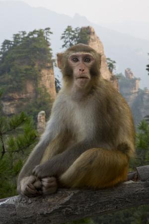 https://imgc.artprintimages.com/img/print/rhesus-macaque-hallelujah-mountains-wulingyuan-district-china_u-l-pu4mn40.jpg?p=0