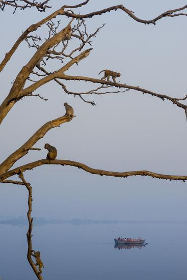 Rhesus Monkeys, Macaca Mulatta, in a Tree on a Bank of the Yamuna River-Jonathan Kingston-Photographic Print