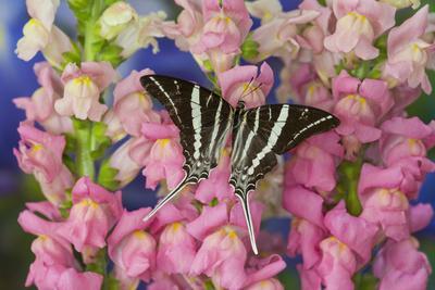 https://imgc.artprintimages.com/img/print/rhesus-swallowtail-butterfly-graphium-rhesus_u-l-pyp6s40.jpg?p=0