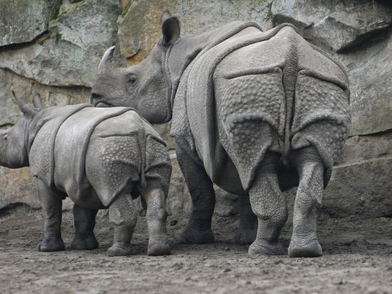 Rhinoceros and Her Youngster Hang Out in their Outdoor Enclosure at the Tierpark in Berlin--Photographic Print