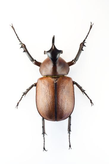 Rhinoceros Beetle-Lawrence Lawry-Photographic Print