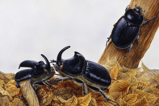 Rhinoceros Beetles (Oryctes Nasicornis), Scarabaeidae, Artwork by Maurice Piedger--Giclee Print