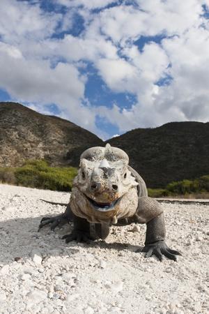 https://imgc.artprintimages.com/img/print/rhinoceros-iguana-cyclura-cornuta_u-l-pzr0l10.jpg?p=0