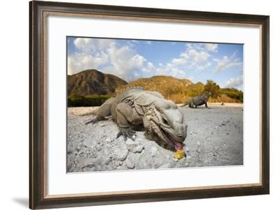 Rhinoceros Iguana (Cyclura Cornuta)-Reinhard Dirscherl-Framed Photographic Print