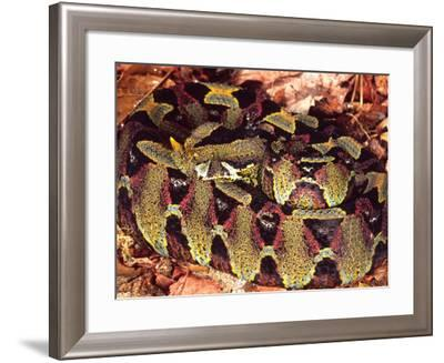 Rhinoceros Viper, Native to Central Africa-David Northcott-Framed Photographic Print