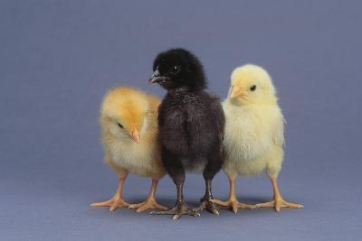 Rhode Island Red, Black Sex-Link and Leghorn Chicks in a Row-DLILLC-Photographic Print