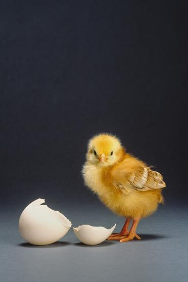Rhode Island Red Chick and Eggshell-DLILLC-Photographic Print