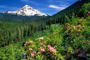 Rhodendron flowers blooming on plant with mountain range in the background, Mt Hood, Lolo Pass,...