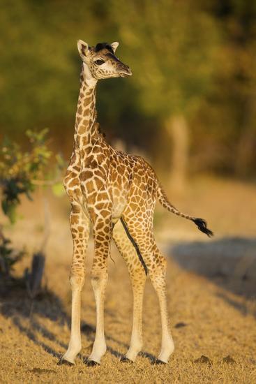 Rhodesian - Thornicroft Giraffe (Giraffa Camelopardalis Thornicrofti) Baby-Will Burrard-Lucas-Photographic Print