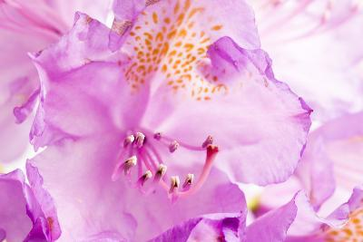 Rhododendron, Blossoms, Close-Up-Frank Lukasseck-Photographic Print