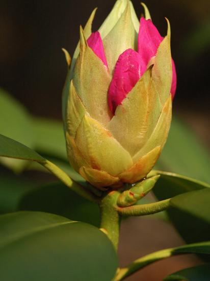 Rhododendron Buds About to Bloom, Belmont, Massachusetts-Darlyne A^ Murawski-Photographic Print