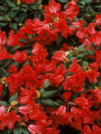 https://imgc.artprintimages.com/img/print/rhododendron-hybrid-scarlett-wonder-close-up-of-flowers-spring_u-l-q10r8fy0.jpg?p=0