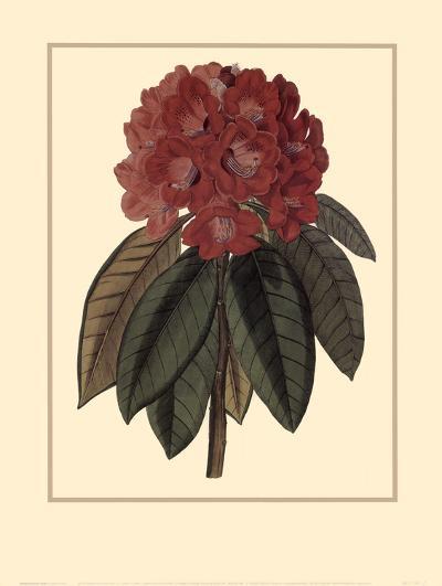 Rhododendron Rojo-Rafael Landea-Art Print