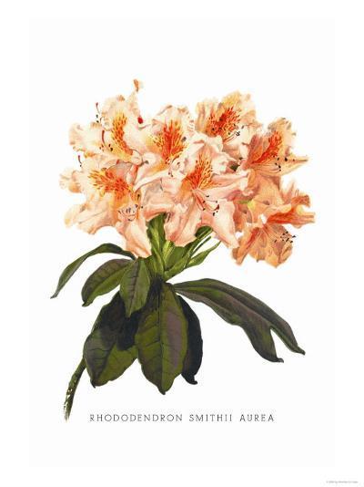 Rhododendron Smithii Aurea-H^g^ Moon-Art Print