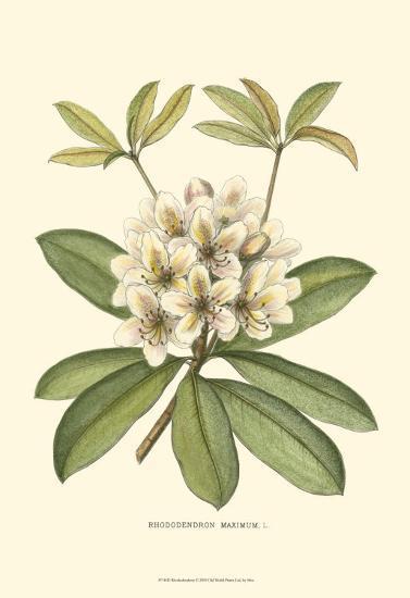 Rhododendron--Art Print