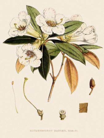 https://imgc.artprintimages.com/img/print/rhododendron_u-l-q1bvkxd0.jpg?p=0