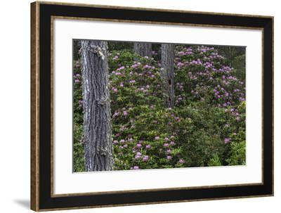 Rhododendrons Flowering in the Siuslaw NF Near Reedsport, Oregon, USA-Chuck Haney-Framed Photographic Print