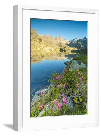 Rhododendrons frame the blue water of Lago Nero at dawn, Cornisello Pinzolo, Brenta Dolomites, Tren-Roberto Moiola-Framed Photographic Print
