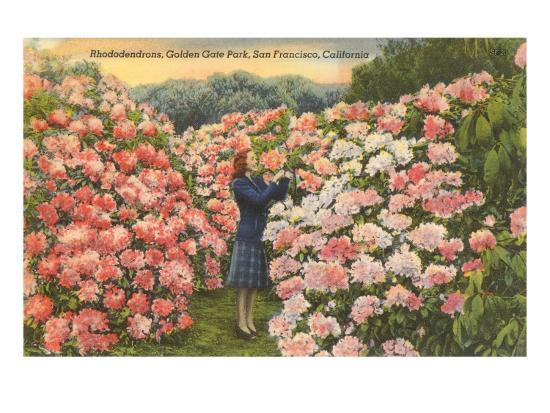 Rhododendrons, Golden Gate Park, San Francisco, California--Art Print