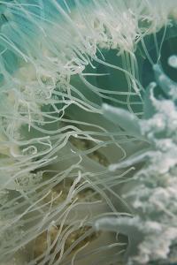 Rhopilema Nomadica Jellyfish