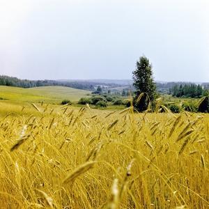 Field of Wheat by Ria Novosti