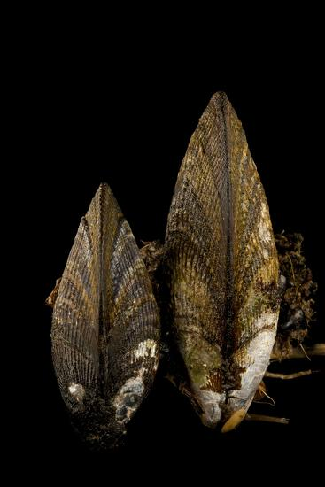 Ribbed Mussels, Modiolus Demissus, in Seaside Park, New Jersey-Joel Sartore-Photographic Print