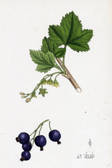 Ribes Nigrum Black Currant--Giclee Print