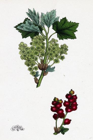 Ribes Rubrum Var. Spicatum Red Currant Var. D--Giclee Print