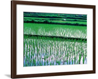 Rice Cultivation, Bali, Indonesia-Jay Sturdevant-Framed Photographic Print