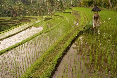 Rice Field, Near the Town of Bangli. Ubud. Bali--Photographic Print