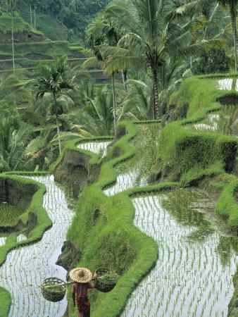 https://imgc.artprintimages.com/img/print/rice-fields-central-bali-indonesia_u-l-p38asb0.jpg?p=0